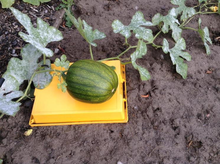 We grew this pumpkin