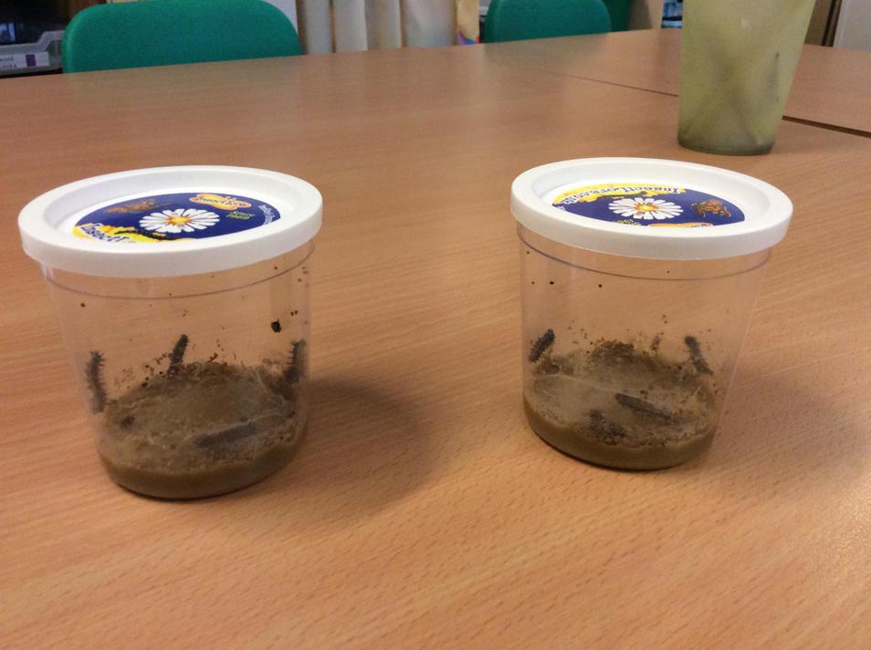 Our baby caterpillars arrived.