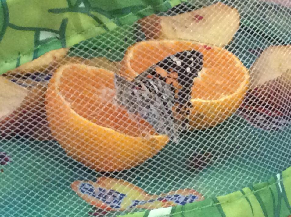 We fed them sweet, juicy fruit.