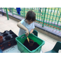 Planting sunflower seeds