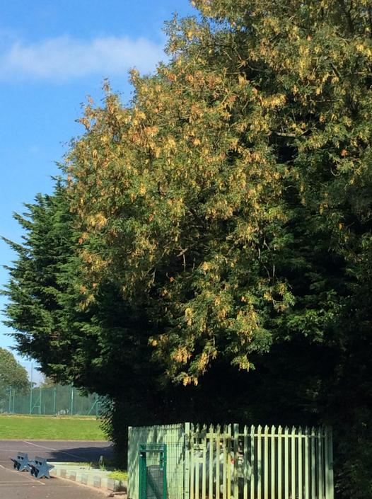 This is an ash tree in our playground.  Can you see the ash keys?