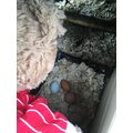 Collecting the eggs