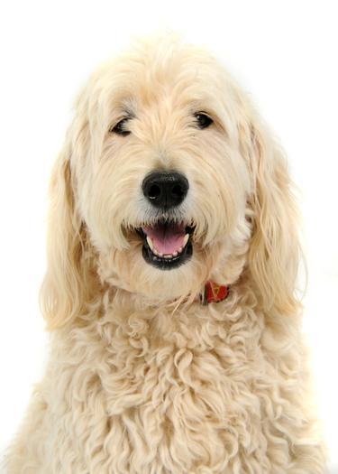 Laika - School Therapy Dog