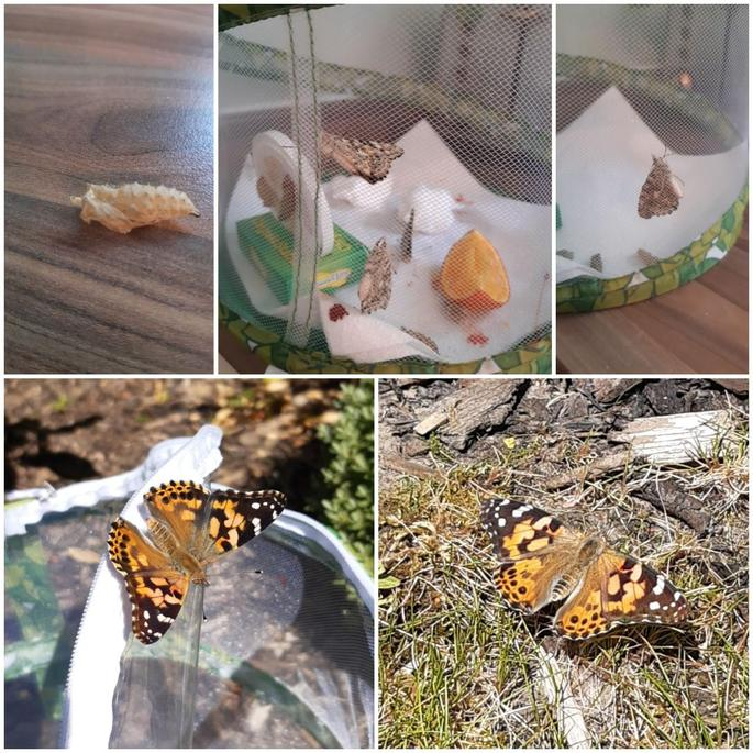 Scarlet's 'Painted Lady'  butterfly project.