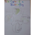 Jimmy's butterfly life cycle