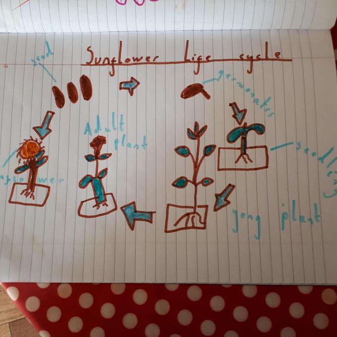 Zoe's sunflower life cycle