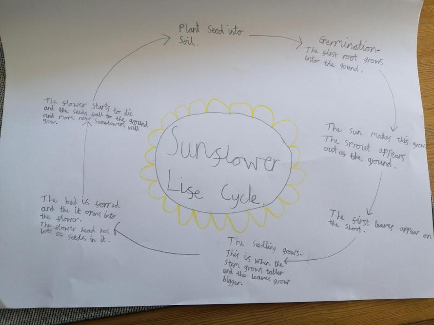 Emily's sunflower life cycle