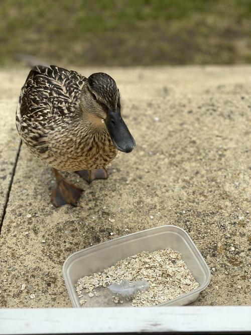 Leon's duck visitor
