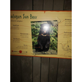 The endangered sun bear