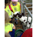 The calf was very keen on our tabards!