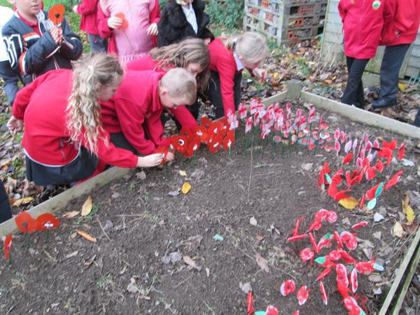Planting our Poppies