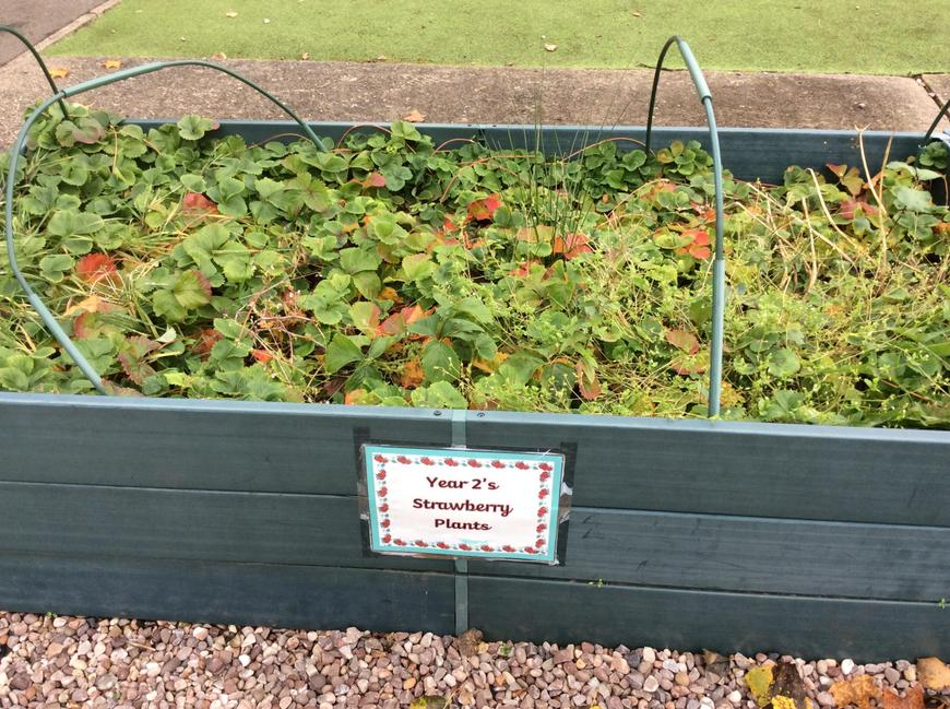 Strawberry plants ready for next year