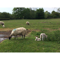 Mrs Baker saw some lambs on her walk.