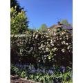 Blossom on Mrs Baker's tree.