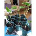 Mrs Baker planted runner beans