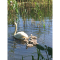 Mrs Baker saw a swan with her six cygnets.