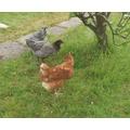 Miss Parveen's chicken's Hetty and Betsy.jpg