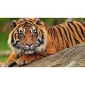 Sumatran Tigers 2.30pm