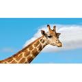Giraffes 11am
