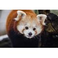 Red Pandas 10am