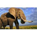 Asian Elephants 12pm