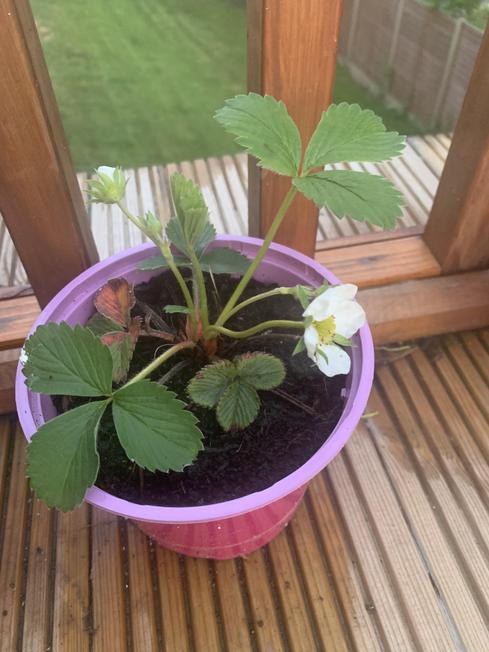 Mila's strawberry plant
