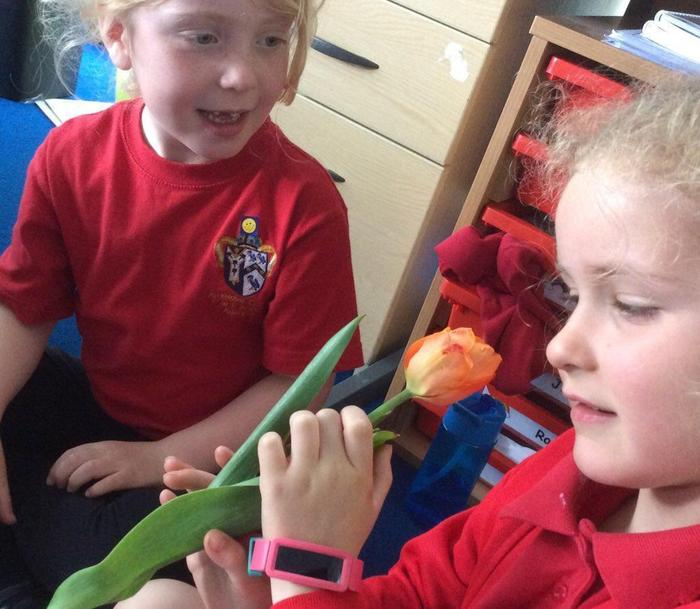 Mrs Lock pulled up a tulip for us to investigate.