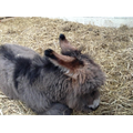 This is the new baby donkey, isn't he gorgeous!