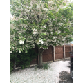 Blossom on Mrs Keeton's tree looks like snow!