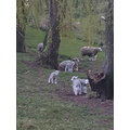 Miss Spencer also saw sheep and lambs on her walk.