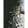 Look at the baby ducklings!