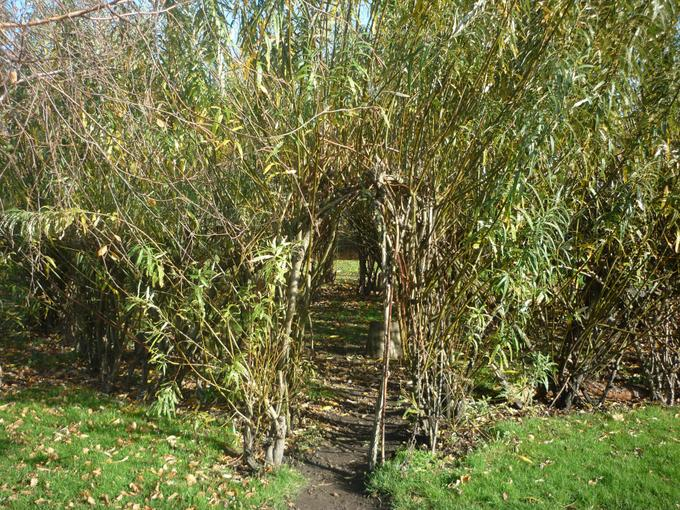 The willow tunnel. This is in our Forest School area