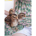 Jess is looking after Nutmeg, Buttercup and May!