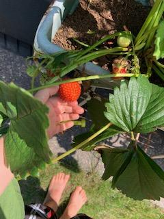 Louis' strawberries