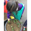 We planted and cared for some strawberry plants.