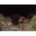 Hatched robins outside Nursery