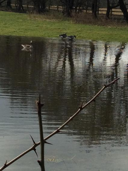 The geese are enjoying their new swimming pool!