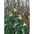 Teddy 6S Daffodils