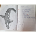 Flynn's amazing Whale Fact file