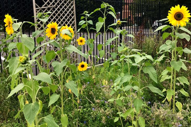 Class sunflowers