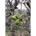 Teddy 6S Spring leaves
