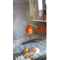 Charlie R 6S Goldfish