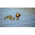 Lyla 6G- Proud mummy duck