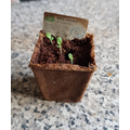 Dylan has planted lettuce seeds.