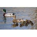 Lyla 6G- Duck family stroll