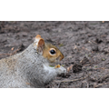 Henry 6S - Squirrel eating a nut