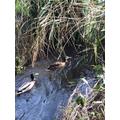 Sozy 6G- Ducks