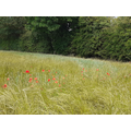 Poppies in a field of grass