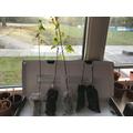 our 5 saplings