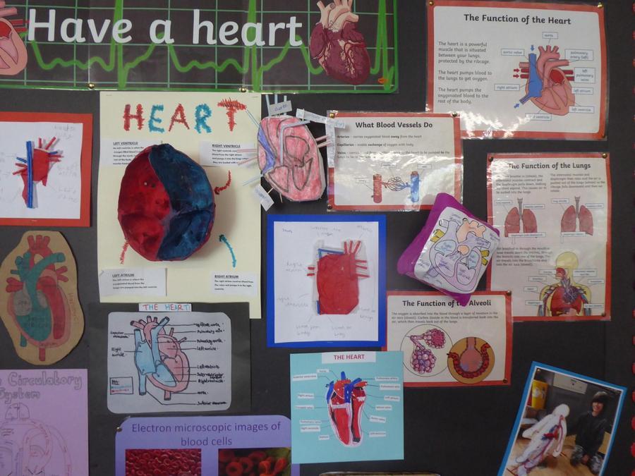 Y6 Science – Heart